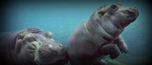 How a Hippopotamus SAVED Me (from a lifetime of BAD Pitching instruction)